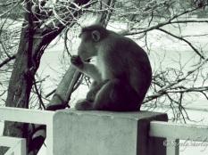 Copyright © Sherley J. Edinbarough (Surely, Sherley and/or SurelySherley), 2014. Tamil Nadu, India. A monkey, just enjoying the warm afternoon.