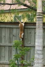Copyright © Sherley J. Edinbarough (Surely, Sherley and/or SurelySherley), 2014. My Tom Cat scaling the fence. Ninja style. Ha-ha.