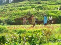 Copyright © Sherley J. Edinbarough (Surely, Sherley and/or SurelySherley), 2014. Ooty, Tamil Nadu, India- a serene, agricultural land, with farmers hard at work.