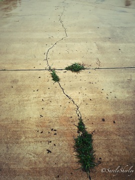 Copyright © Sherley J. Edinbarough (Surely, Sherley and/or SurelySherley), 2014. Grass growing between cracks in the cement pavement.