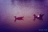 May, 2015. Brownsville, Texas, U.S.A. Copyright © Sherley J. Edinbarough (Surely, Sherley and/or SurelySherley), 2015. Two ducks having a swim in the resaca.