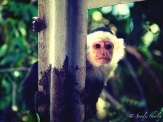 March 2015, Costa Rica. Copyright © Sherley J. Edinbarough (Surely, Sherley and/or SurelySherley), 2015. A curious monkey onboard the river-boat.