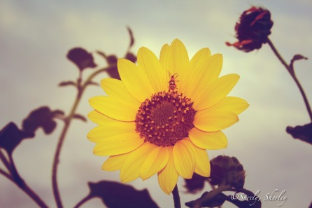 May 2015: Brownsville, Texas, U.S.A. An hour of sunlight remains, a beetle rests on a sunflower as the flower looks to the fading light.